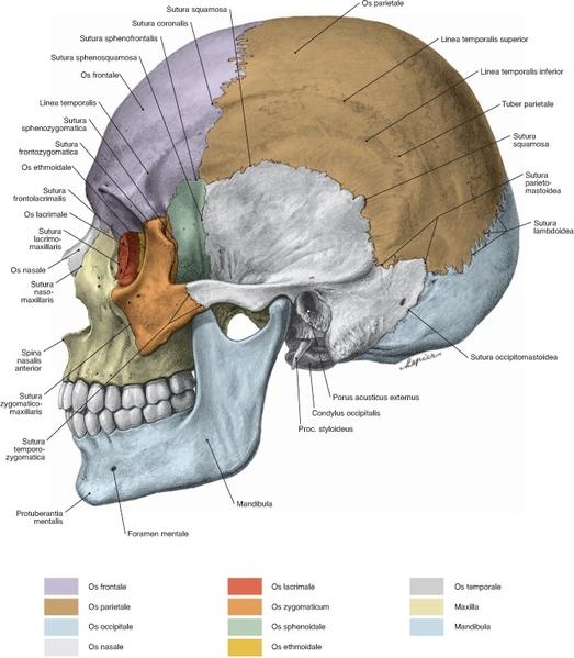 1. Anatomie und Aufbau - Projekt Schweinekopf