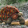 Galapagosschildkröte /WA-Gr.:2)