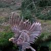 Adler auf Wippe (WA-Gr. 4) - Sonderwertung