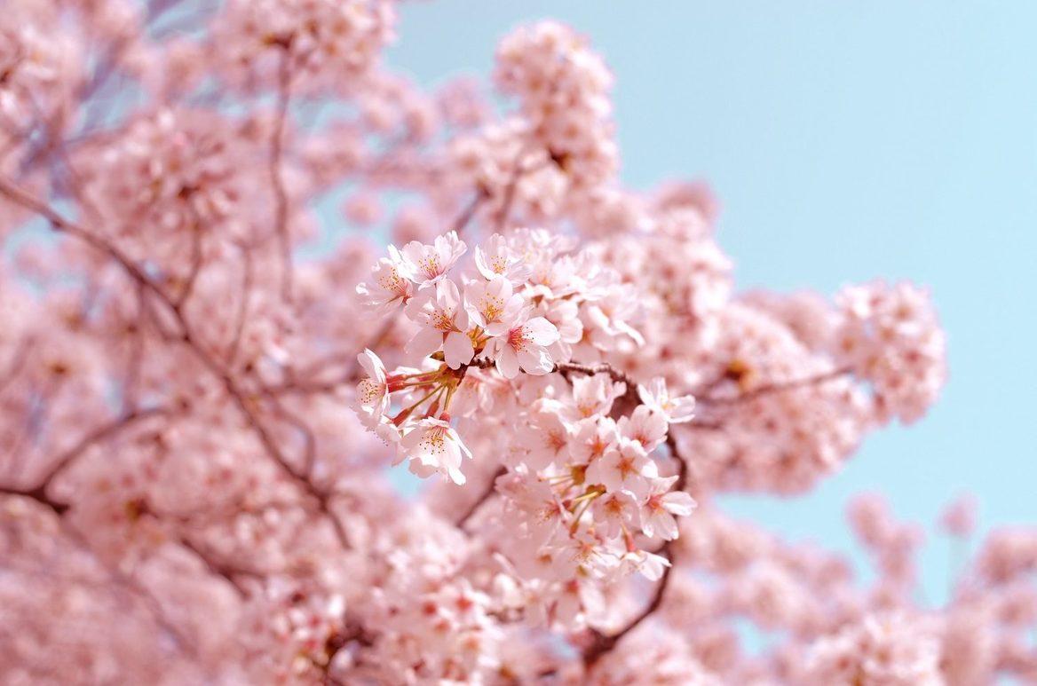 Washington DC Cherry Blossom Special