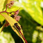 Frühe Adonis Libelle